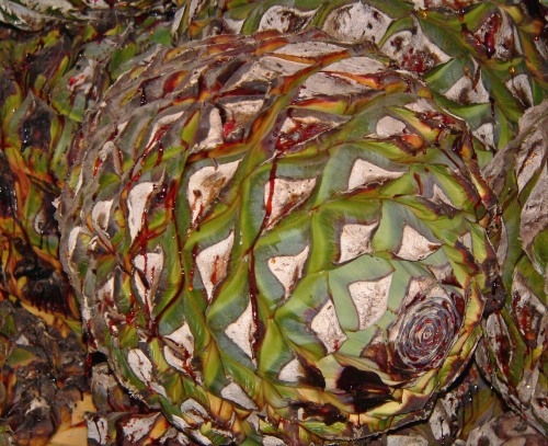 agave_tequilana_core